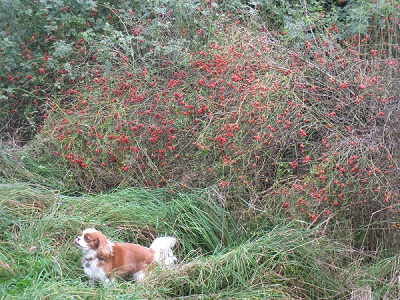Charlie with Dog Rose (Rosa canina) hips