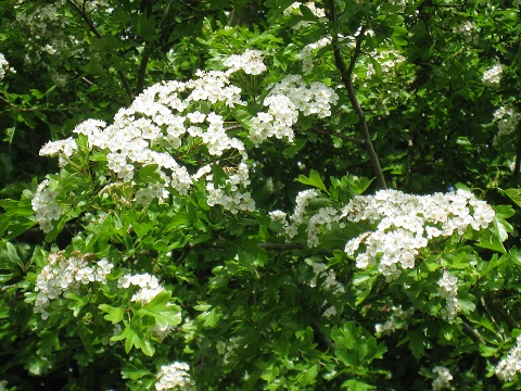 Hawthorn hedging in blossom