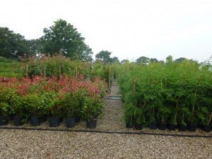 Photinia Red Robin and Western Red Cedar plant ready for new homes
