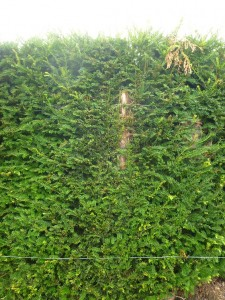 Yew hedge in second year after hard pruning