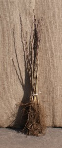 A bundle of 25 x 40-60cm Hawthorn bare roots