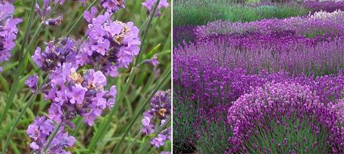 English lavender hedging