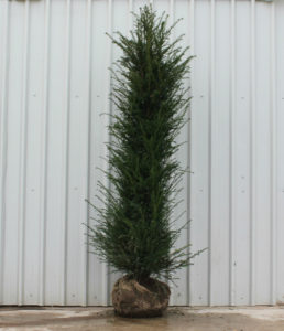 Yew root ball hedging