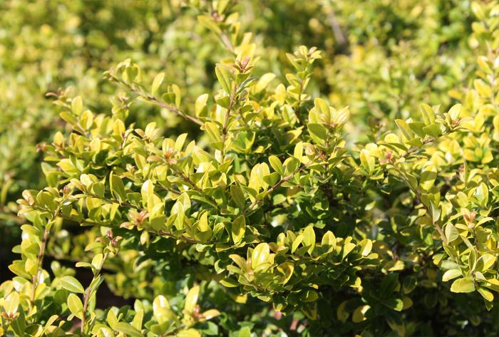 Go For Gold Foliage | June\'s Hedges Direct Blog