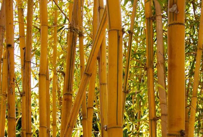 gold bamboo