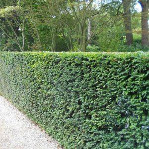 English Yew Hedge