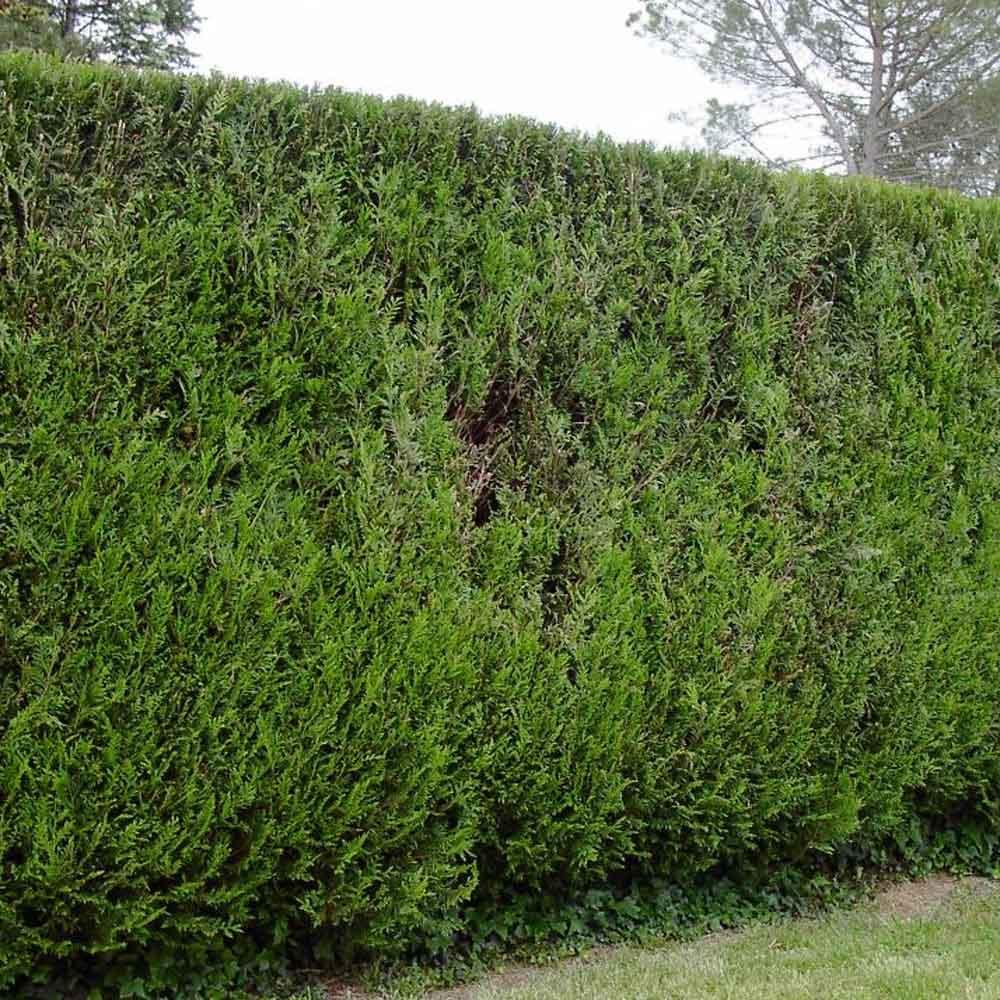 Western Red Cedar Hedge