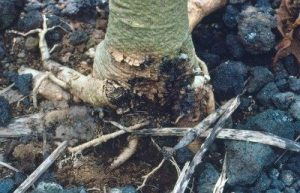 Phytophthora Rot
