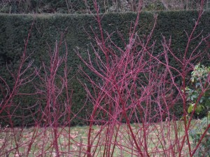 Here's a photograph of a beautiful mature Yew hedge (well done to the park-keepers) with bright Dogwood sibirica in the foreground – shown off to perfection by the dark background – and even more beautiful when there's snow on the ground