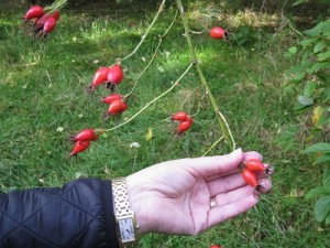 close up of Dog Rose hips to let you see the size of them