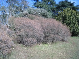 Sea Buckthorn - view from distance