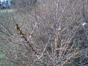 close up image of Sea Buckthorn