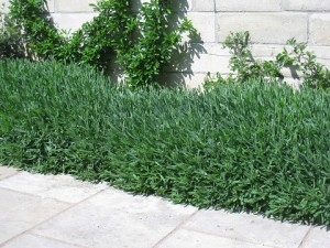 English Lavender hedge