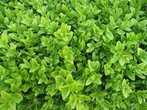 Box hedging plant close up image