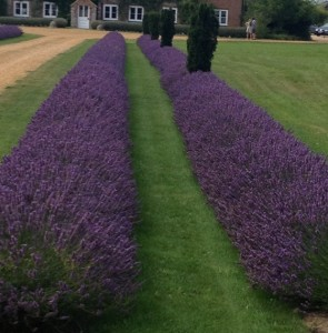 Hidcote Lavender hedging plants in double rows
