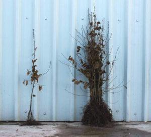 Hornbeam bare root