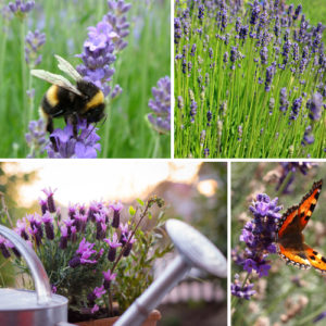 HD Lavender Competition