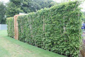 instant hornbeam hedging