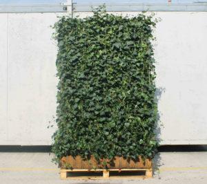 Ivy Screens