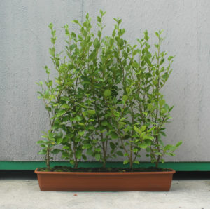 Griselinia instant hedging