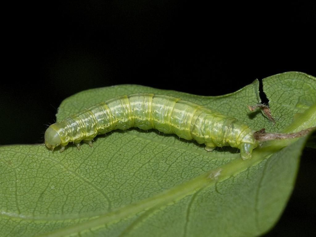 Winter Moth Operophtera Brumata