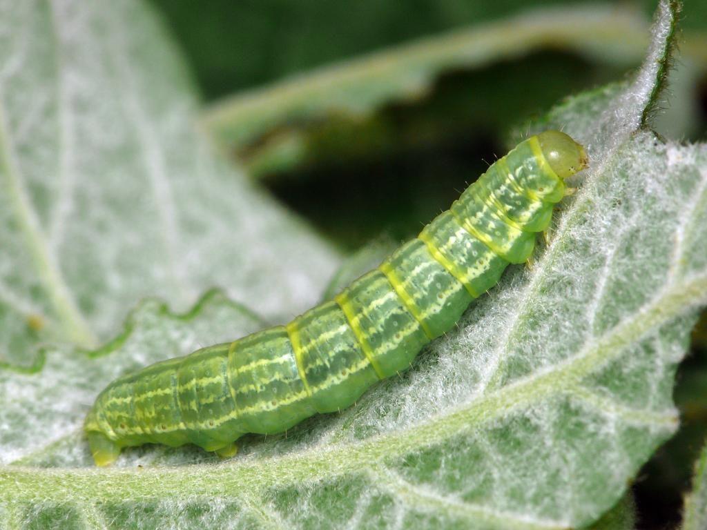 Winter Moth Caterpillars
