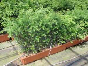 English Yew Instant Trough