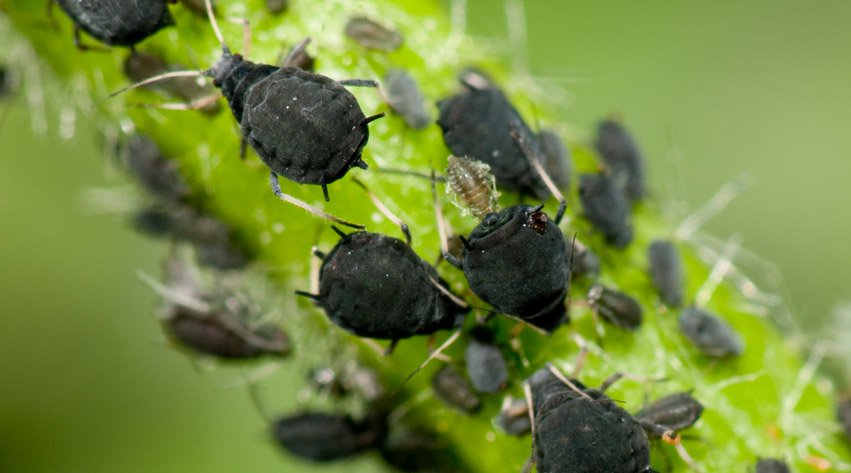 greenfly blackfly aphids